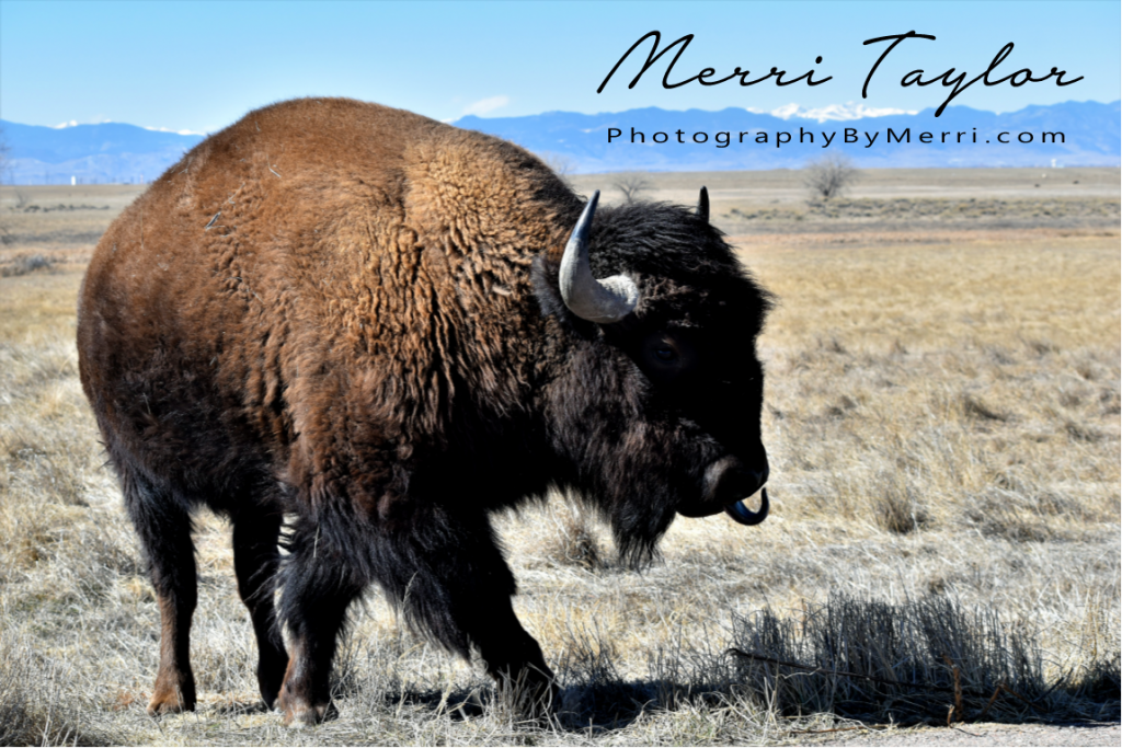 Bison, Rocky Mountain Arsenal and Wildlife Refuge